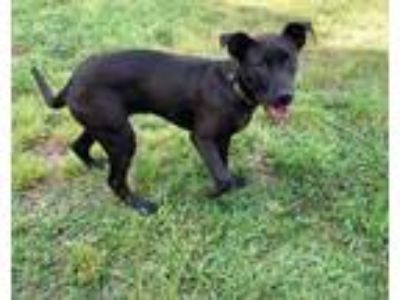 Adopt Tabitha a Black Labrador Retriever / Mixed dog in Jacksonville