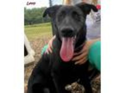 Adopt Letty a Black Labrador Retriever / Mixed dog in Oskaloosa, IA (25814291)