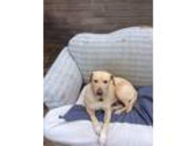 Adopt Bella a Tan/Yellow/Fawn Labrador Retriever / Mixed dog in La Mesa
