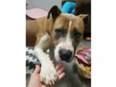Adopt Chopo a Brown/Chocolate - with White Pit Bull Terrier / Mixed dog in