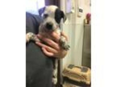 Adopt Spotty a Australian Cattle Dog / Blue Heeler