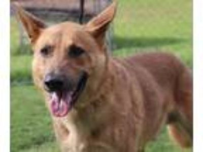 Adopt Smokey a Red/Golden/Orange/Chestnut German Shepherd Dog / Golden Retriever