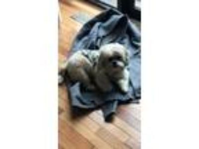 Adopt Stella a White - with Tan, Yellow or Fawn Shih Tzu / Bichon Frise dog in