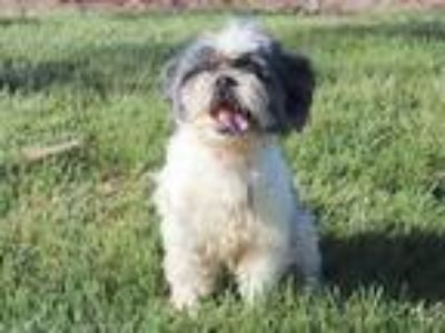 Adopt SASSY a White - with Gray or Silver Shih Tzu / Mixed dog in Maryland