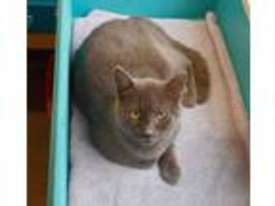 Adopt Winston a Domestic Short Hair