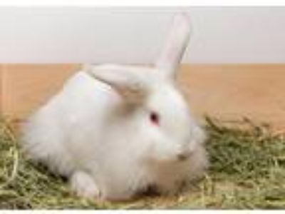 Adopt Cyndi Lopear a American / Mixed (short coat) rabbit in Pflugerville