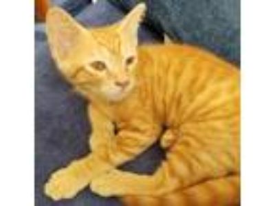 Adopt Archie a Orange or Red Domestic Shorthair cat in Woodstock, GA (25936745)