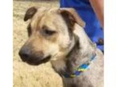Adopt KELSEY a Tan/Yellow/Fawn Cattle Dog / Shepherd (Unknown Type) / Mixed dog