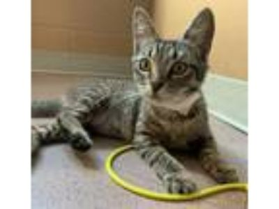 Adopt Pinky a Brown Tabby Domestic Shorthair / Mixed cat in Oakland