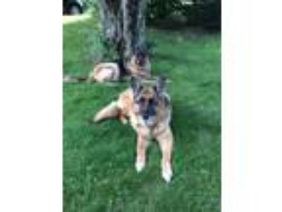 Adopt GusGus a Tricolor (Tan/Brown & Black & White) German Shepherd Dog / Mixed