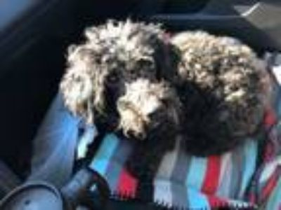 Adopt Fred a Poodle
