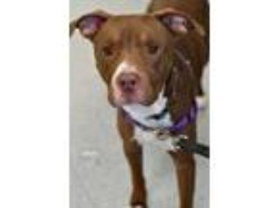 Adopt Devo a Brown/Chocolate Labrador Retriever / American Staffordshire Terrier