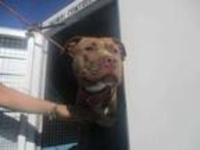 Adopt Stray, Bea-Inv, avail5/28/19 a Tan/Yellow/Fawn American Pit Bull Terrier /