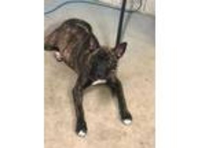 Adopt Albie a Brindle Mixed Breed (Large) / Mixed dog in Kenosha, WI (25324342)