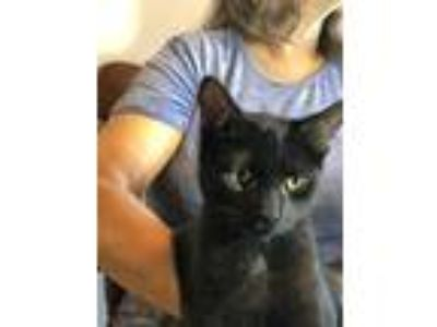 Adopt Sweetie (nickname for new kitten) a Black (Mostly) American Shorthair cat