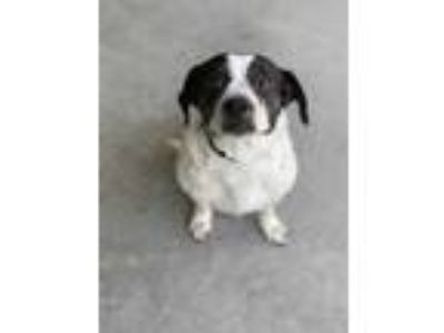 Adopt RUTH a Black - with White Jack Russell Terrier / Beagle / Mixed dog in
