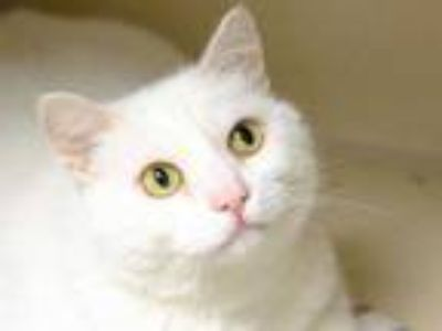 Adopt WINTER a White Domestic Shorthair / Mixed (short coat) cat in Denver