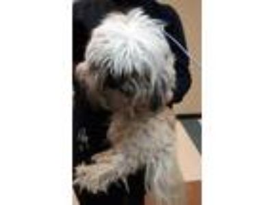Adopt Achilles a Tan/Yellow/Fawn Lhasa Apso / Mixed dog in Mesquite