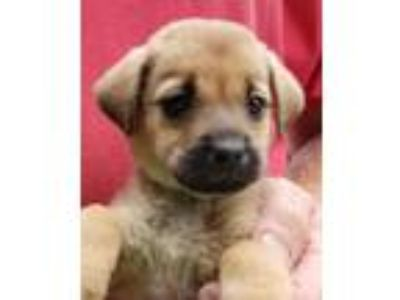 Adopt Tiara a Brown/Chocolate - with Black Terrier (Unknown Type