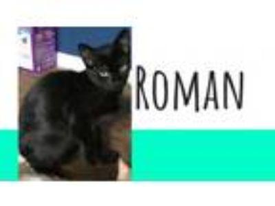 Adopt Roman a Domestic Short Hair