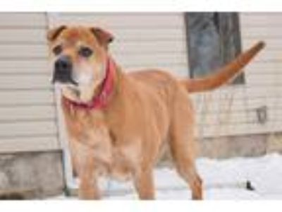 Adopt Buddy a Red/Golden/Orange/Chestnut Shar Pei / Labrador Retriever / Mixed