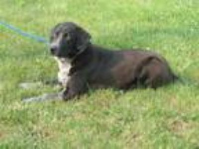 Adopt Henry a Pointer, Black Labrador Retriever