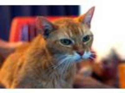 Adopt Ginger a American Shorthair