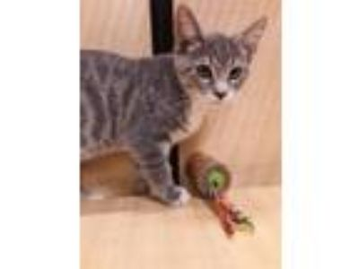 Adopt Lenny and Squiggy a Domestic Short Hair