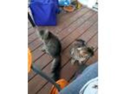 Adopt Jane and Misty a Calico or Dilute Calico American Shorthair / Mixed cat in