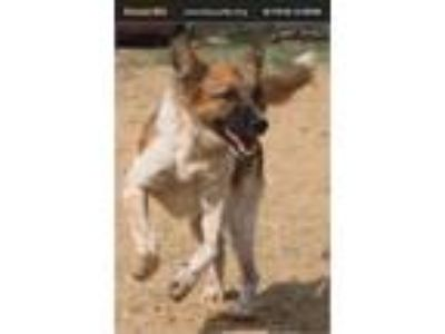 Adopt Bondoo a German Shepherd Dog, Border Collie