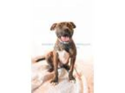 Adopt Finnegan a Pit Bull Terrier, Mixed Breed
