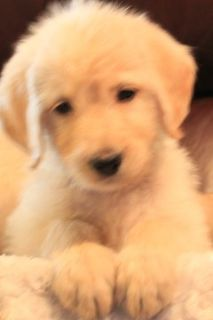 Labradoodle PUPPY FOR SALE ADN-96449 - Phoebe