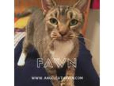 Adopt Fawn a Tan or Fawn Tabby Domestic Shorthair (short coat) cat in