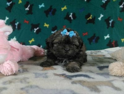 Shih Tzu PUPPY FOR SALE ADN-89956 - AKC Shih Tzu Puppy