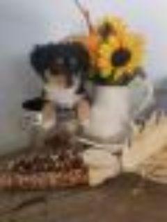 Ralph Miniature Pinscher - Chihuahua Dog
