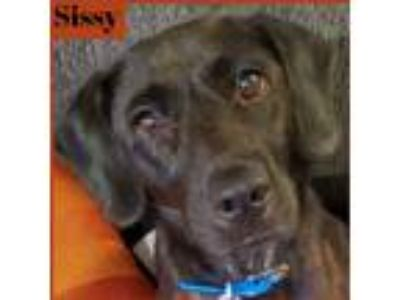 Adopt Sissy a Black Labrador Retriever dog in Palatine, IL (25916296)