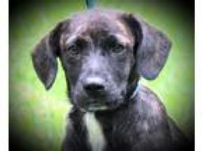 Adopt March B a Plott Hound, Spaniel
