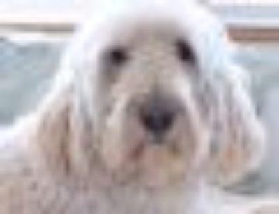 FL-Dude Standard Poodle - Golden Retriever Dog