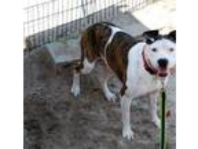 Adopt Windy a Brindle - with White American Staffordshire Terrier / Mixed dog in
