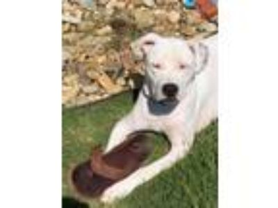 Adopt Oliver a White American Staffordshire Terrier / Mixed dog in Madison