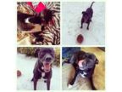 Adopt Sam a Black - with White American Pit Bull Terrier / Labrador Retriever /