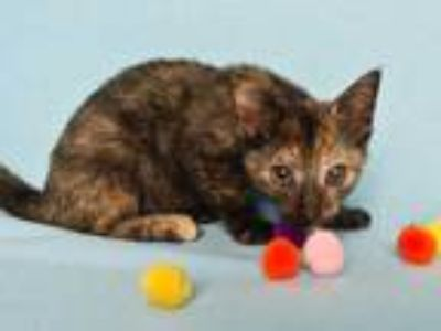 Adopt HONEY* a Tortoiseshell Domestic Shorthair / Mixed (short coat) cat in
