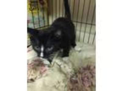 Adopt Sammy a Black & White or Tuxedo Domestic Shorthair (short coat) cat in