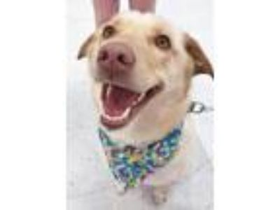 Adopt Mia a Golden Retriever, Labrador Retriever