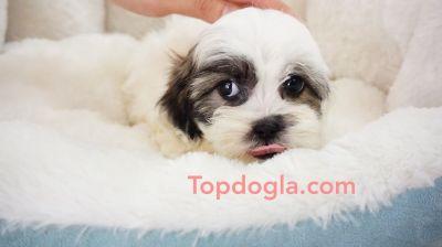 Malshi Puppy - Male - Messi ($1,299)
