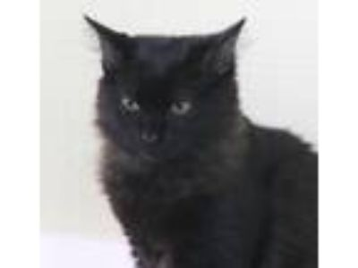 Adopt Scooter Pie a Domestic Mediumhair / Mixed (medium coat) cat in North Fort