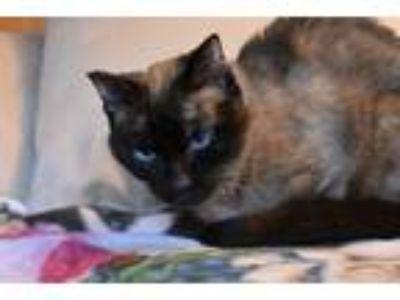 Adopt Miss Tiffy a Domestic Short Hair, Siamese