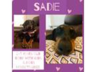 Adopt Sadie a Black - with Tan, Yellow or Fawn Doberman Pinscher / Mixed dog in