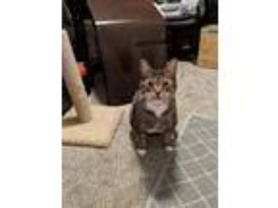 Adopt Pebbles a Brown Tabby Domestic Shorthair / Mixed cat in Spokane