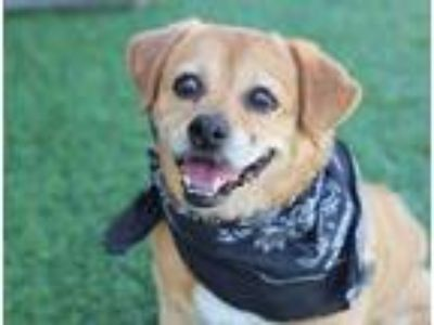 Adopt Tucker a Tan/Yellow/Fawn - with White Pug / Beagle / Mixed dog in Creston